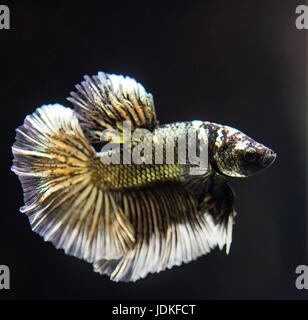 Copper male betta splendens fish - Stock Photo