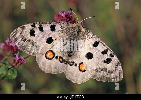 Apollofalter (Parnassius apollo) / Butterfly (Parnassius apollo) - Stock Photo
