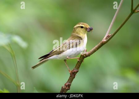 Forest chiffchaff with caught fly sits on a branch, Phylloscopus sibilatrix,, Waldlaubsänger mit gefangener Fliege - Stock Photo