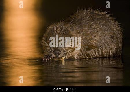 Beavers, Castoridae, rodents, Rodentia, mammals - Stock Photo