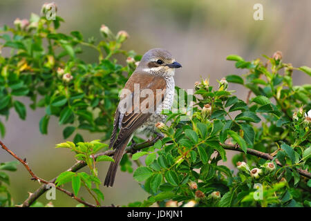 Neuntöter (Lanius collurio) Red-backed Shrike - Stock Photo