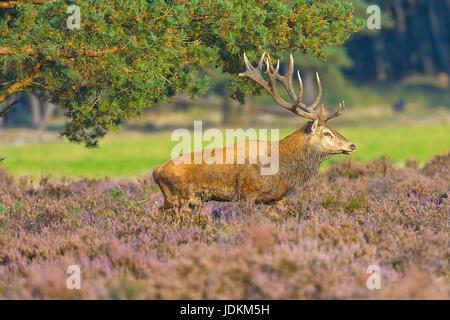 Rothirsch (Cervus elaphus) - Stock Photo