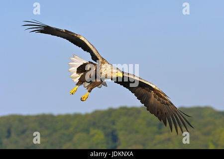 Seeadler / Haliaeetus albicilla / White-tailed Sea Eagle - Stock Photo
