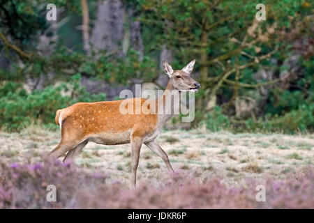 Rothirsch (Cervus elaphus) - Stock Photo