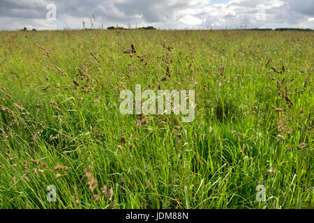 Grasses with seed heads blowing in the wind - Stock Photo