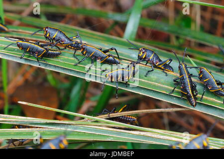Lubber grasshopper nymphs, Romalia guttata, emerge from the ground in large groups. - Stock Photo