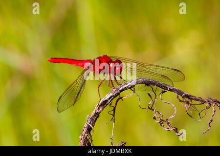 a scarlet skimmer, Crocothemis servilia, at rest on a twig. - Stock Photo