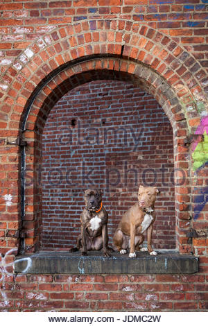 Two American Staffordshire Terriers, or pit bulls, sit in an abandoned brick building. - Stock Photo