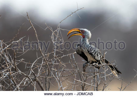 A southern yellow-billed hornbill, Tockus leucomelas, perching on a bush. - Stock Photo