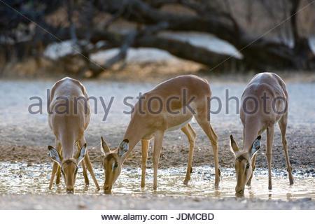Three impala females, Aepyceros melampus, drinking at sunrise. - Stock Photo