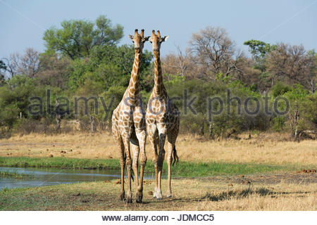 Two southern giraffes, Giraffa camelopardalis, walking. - Stock Photo
