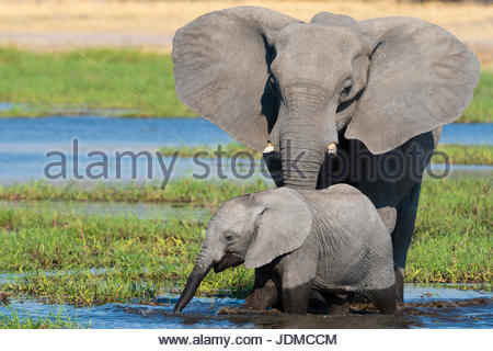 A female African elephant and calf, Loxodonta africana, drinking in the river Khwai. - Stock Photo