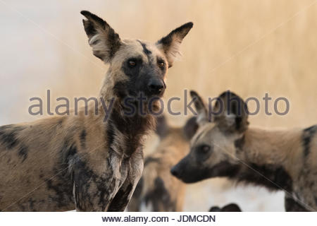 Portrait of an African wild dog, Lycaon pictus. - Stock Photo