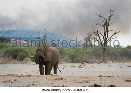 An African elephant at a waterhole, Loxodonta africana, in the background a bushfire on the hills surrounding the - Stock Photo