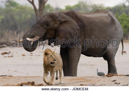 A male lion, Panthera leo, walking away from an African elephant, Loxodonta africana, drinking at waterhole. - Stock Photo