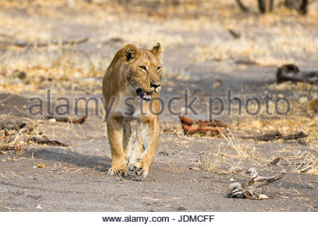 A lioness, Panthera leo, walking. - Stock Photo