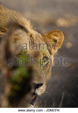 Portrait of a male lion, Panthera leo. - Stock Photo