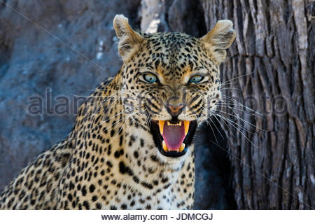 A leopard, Panthera pardus, snarling and looking at the camera. - Stock Photo