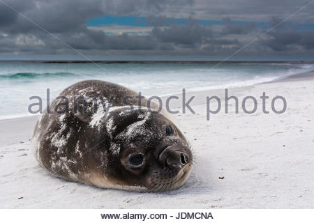 Southern elephant seal pup, Mirounga leonina, resting on a beach. - Stock Photo