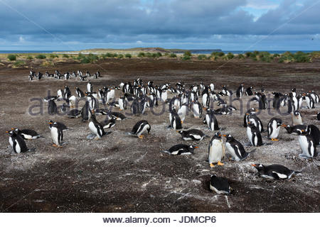 A Gentoo penguin colony, Pygoscelis papua. - Stock Photo