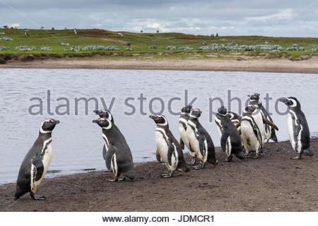 Magellanic penguins, Spheniscus magellanicus, on the edge of a pond. - Stock Photo