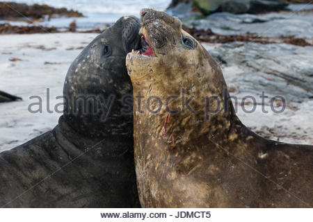 Southern elephant seals, Mirounga leonina, fighting. - Stock Photo