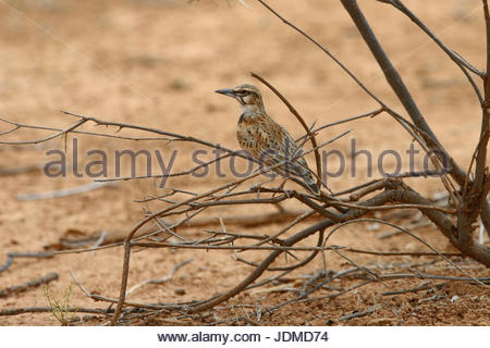 A short-tailed lark, Spizocorys fremantlii, perches on a branch. - Stock Photo