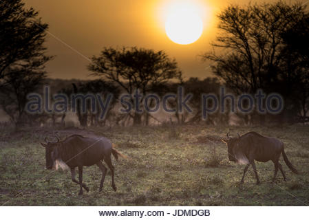 A pair of wildebeest at sunrise in Tanzania's Serengeti National Park. - Stock Photo