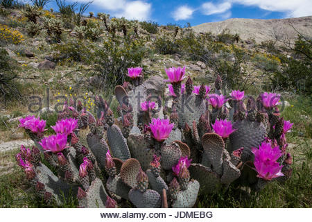 A beavertail cactus, Opuntia basilaris, in bloom. - Stock Photo