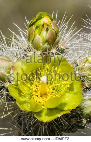 Close up of a flowering jumping cholla cactus, Cylindropuntia fulgida. - Stock Photo