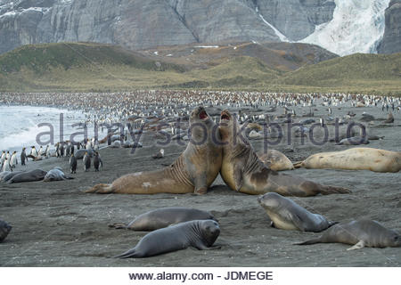 Adult male southern elephant seals fight along the shore at Gold Harbour. - Stock Photo