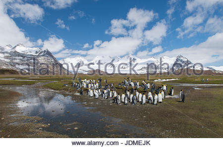 King penguins, Aptenodytes patagonicus, stand together in a group. - Stock Photo