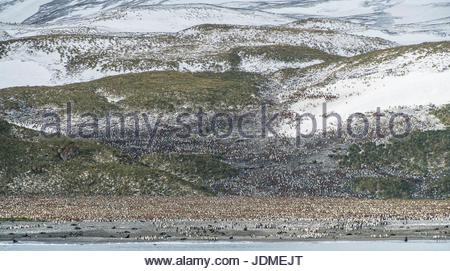 King penguin, Aptenodytes patagonicus, breeding colony on Salisbury Plain. - Stock Photo