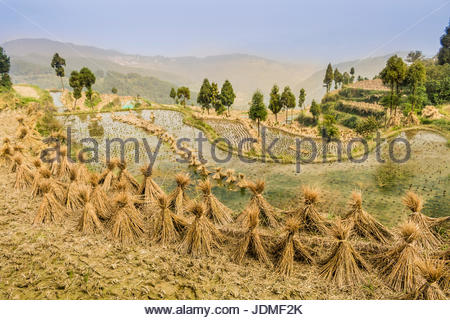 Dried rice bundles waiting to be harvested on paddy fields in Yongjia County. - Stock Photo