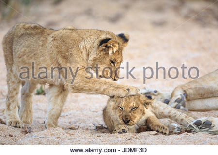 Lion cubs, Panthera leo, playing in a sandy dry riverbed. - Stock Photo