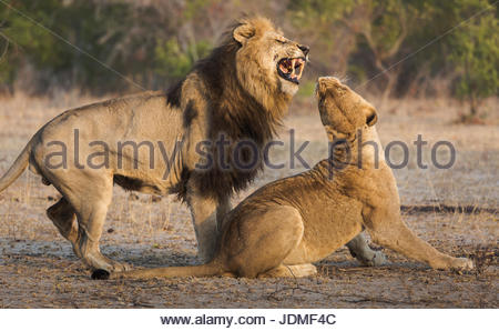 Male lion attempting to mate with a female, Panthera leo. - Stock Photo