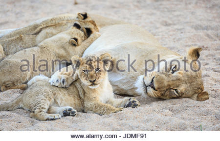 Lioness with paw over resting cub, and three more nursing, Panthera leo, in a sandy riverbed. - Stock Photo
