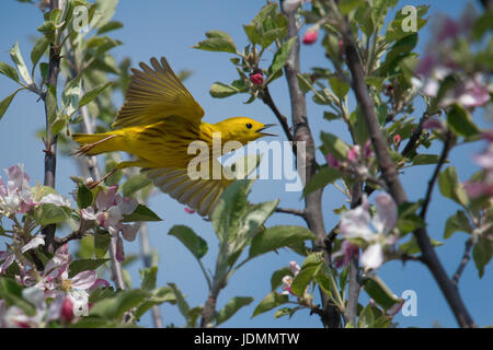 Yellow Warbler male in flight through blooming apple tree in pursuit of insect - Stock Photo