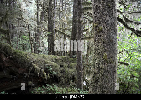 A dense mossy old growth temperate rainforest in the Great Bear Rainforest region of British Columbia, Canada. - Stock Photo