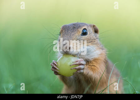 Ziesel (Spermophilus citellus) European ground squirrel - Stock Photo