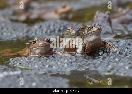 Grasfrosch (Rana temporaria) Grass Frog - Stock Photo