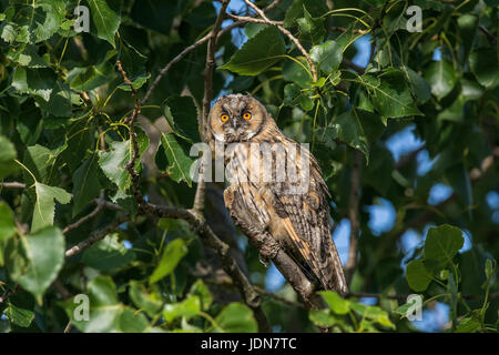 Waldohreule (Asio otus) Long-eared Owl - Stock Photo
