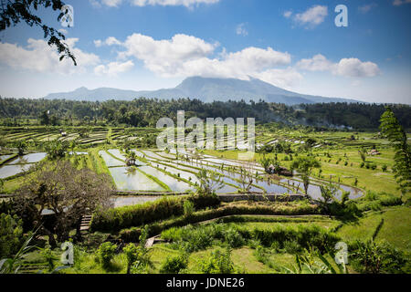 Rice Paddy Terraces in Northern Bali Near Ubud with Mount Agung in Background - Stock Photo