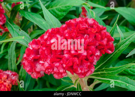 Closeup to Cockscomb, Chinese Wool Flower, Celosia Argentea - Stock Photo