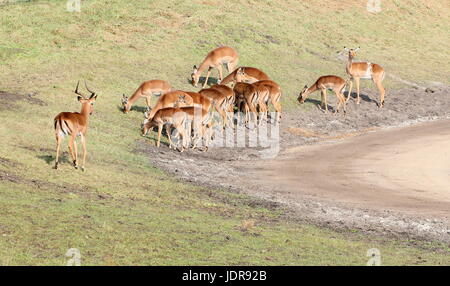 Herd of South African Impalas (Aepyceros melampus).together with a dominant buck. - Stock Photo