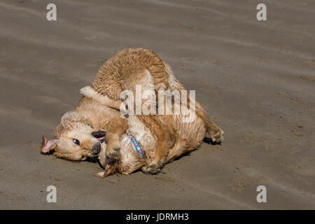 Brother and sister 5 month old golden retriever puppies play on sand on Newton beach, Porthcawl - Stock Photo