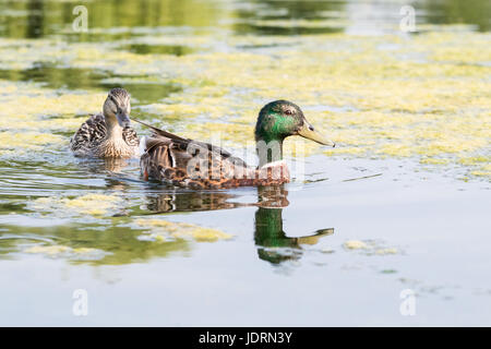 Mallard male and female swimming in algae on a lake in Bushy Park, west London - Stock Photo
