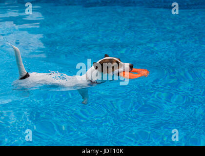 Jack Russell Terrier dog swimming outdoors in a swimming pool carrying a toy lifesaver ring - Stock Photo