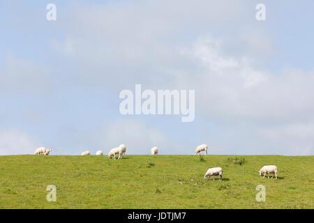 sheep graze on grassy dike near leeuwarden in the netherlands on sunny day in Friesland - Stock Photo