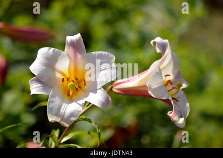 Regal Lily - Lilium regale